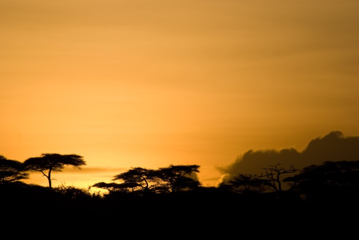 Acacia trees in the Ngorongoro Conservation Area.