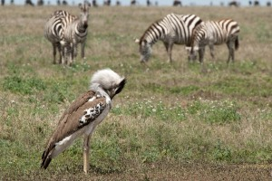 A kori bustard in the Serengeti.