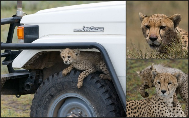 """Clockwise from left: a cheetah cub uses a tire for a perch; cheetah mum """"Eleanor,"""" renowned for producing a first litter of six cubs in 2008; Eleanor and one of her cubs."""