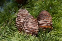 Unopened pine cones.