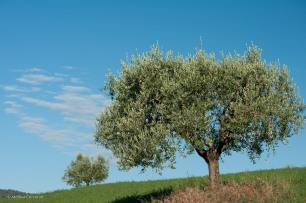 Olive tree on a hill below Porciano.