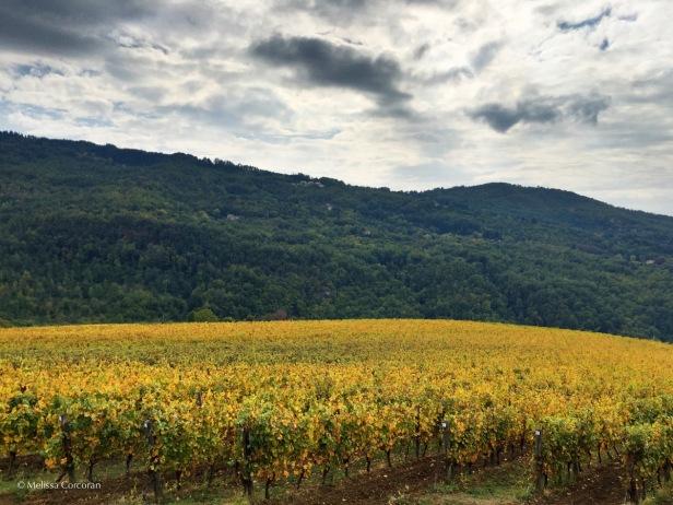 Vineyards after the harvest.