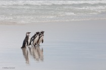 Magellanic penguins exit the water.