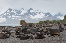 Fur seals 'littering' a beach on Prion Island.
