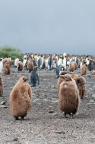 King penguin chicks. Sealers called them 'oakum boys' because they resembled oakum, the fibers used to caulk ships. Some of us thought they looked like the pictures from the 1920s of men wearing raccoon coats to football games!