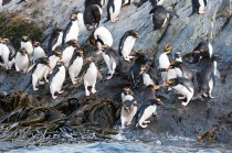 It was worth the 5:00 a.m. wake-up call to see macaroni penguins. Our viewpoint was from the water in the Zodiacs.