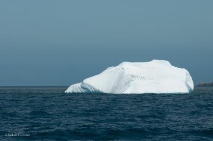 Gentoo penguins on an iceberg in Drygalski Fjord...