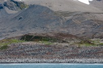 Hundreds of king penguins in St. Andrews Bay.