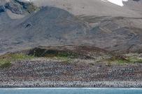 Hundreds of king penguins at St. Andrews Bay.