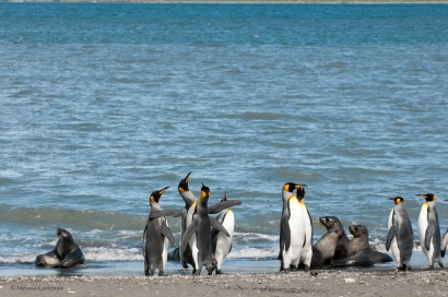When we got off the Zodiac at St. Andrews Bay, the four penguins left of center were walking around, vocalizing, and slapping each other. They were so funny, we all stopped to watch them.