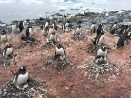 Gentoo chicks, too large to fit under their parents, huddle against them for protection from the weather.