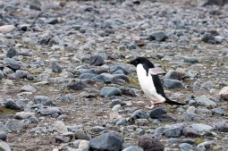 An Adélie penguin makes its way from the beach to the rookery. This part was flat, but it had a hill to climb to reach the rookery.