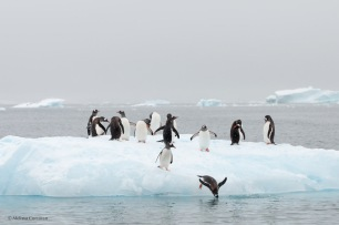 and diving into Paradise Harbour off the Antarctic peninsula.