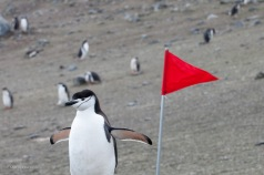 We were cautioned to stay several meters away from the penguins and to stick to the paths marked by the red flags. Sometimes, these instructions were hard to follow, as when this chinstrap perched near a flag.