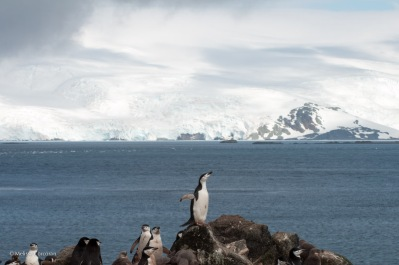 A last look at chinstrap penguins before heading down to the Zodiacs and the end of our shore excursions.