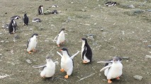 These gentoo chicks were running around crazily!