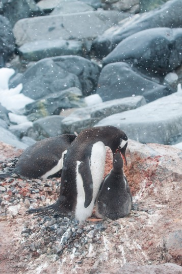 A gentoo chick being fed.